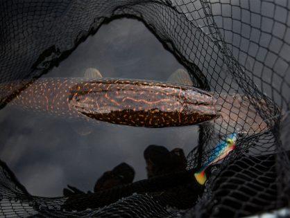 Ruotsalainen hauenkalastuksen erikoismerkki Gator kasvaa Suomessa