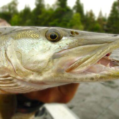 muskyn kalastus