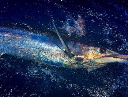 Unelmista totta Kap Verdellä – Sinimarliini on kalojen kuningas